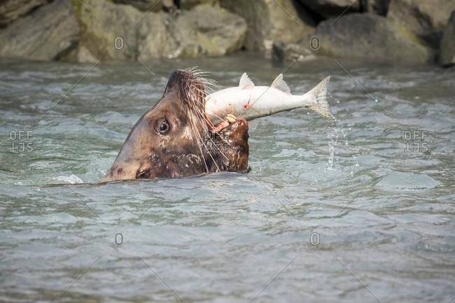 Stellar Sea Lion bull catches fish near fish hatchery, Valdez, South-central Alaska, summer, USA