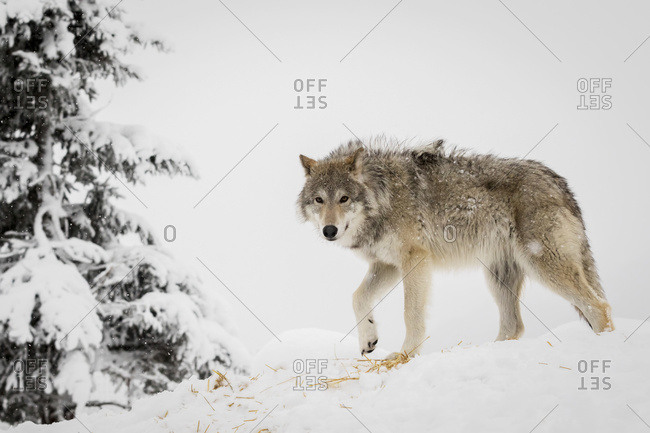 CAPTIVE: Adult female Tundra wolf in winter, Alaska Wildlife Conservation Center, South-central Alaska