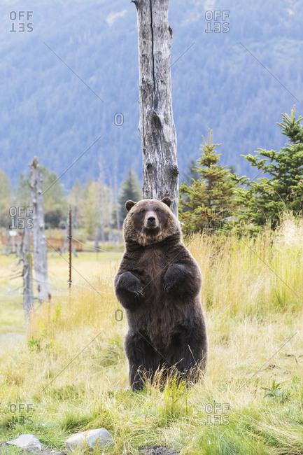 CAPTIVE: Grizzly stands up against a snag to scratch its back, Alaska Wildlife Conservation Center, South-central Alaska, summer
