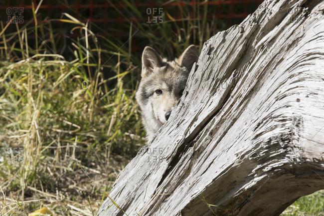 CAPTIVE: Young Gray wolf pup hides behind driftwood, Alaska Wildlife Conservation Center, South-central Alaska, summer, USA