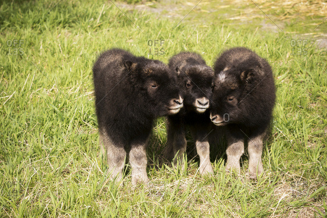 CAPTIVE: Three newborn calf musk ox stand together, Alaska Wildlife Conservation Center, South-central Alaska, summer