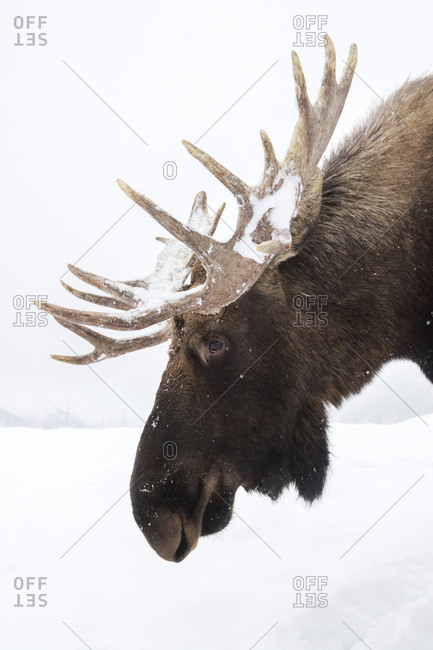 CAPTIVE: Profile of a bull moose with snow-covered antlers, Alaska Wildlife Conservation Center, South-central Alaska