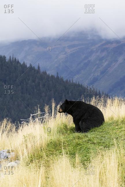 CAPTIVE: Black bear sitting on a hillside at the Alaska Wildlife Conservation Center, autumn