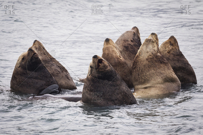 Herd of Stellar Sea Lions in shallow water near Dayville Road, Valdez, South-central Alaska, United States of America