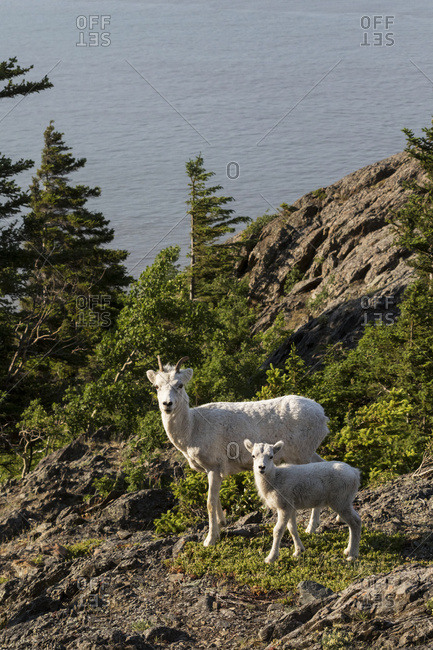 Dall Sheep ewe and lamb, Chugach Mountains, South-central Alaska, summer