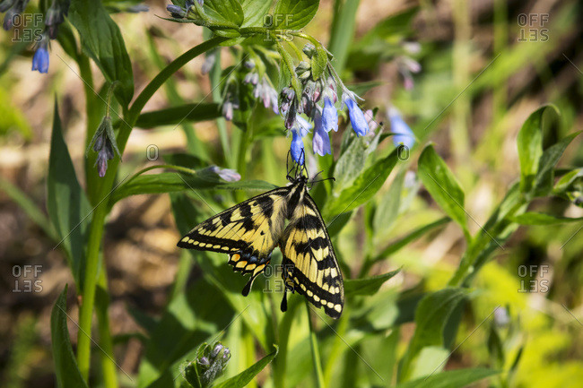 Tiger Swallowtail lands on Bluebell flowers, Eagle River Nature Center, South-central Alaska