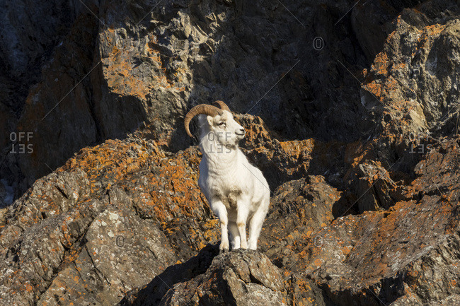 Dall ram (ovis dalli) stands in rocky terrain in the Chugach Mountains, south-central Alaska in autumn; Alaska, United States of America