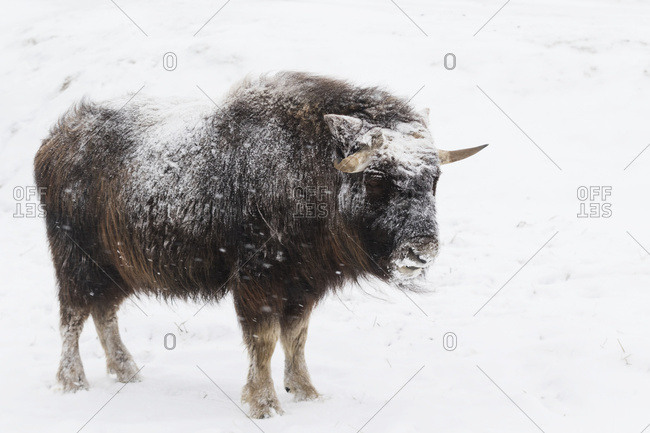 Frosty looking muskoxen (Ovibos moschatus) stands in snowy pasture, captive at the Alaska Wildlife Conservation Centre; Portage, Alaska, United States of America