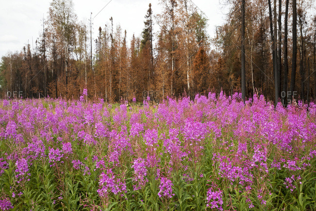 Fireweed (Chamerion angustifolium) and burned out trees from the two 015 Sockeye Fire near Willow, Alaska, next to Parks Highway; Alaska, United States of America