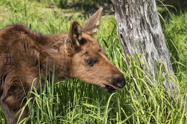 Moose calf (alces alces) in the grass at the Alaska Wildlife Conservation Centre; Portage, Alaska, United States of America