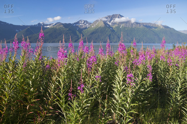 Scenic landscape of Fireweed with the Kenai Mountains and Turnagain Arm in the background, South-central Alaska, summer