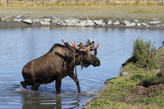 Bull moose (alces alces) coming out of the water, just coming out of shedding its velvet and antlers look a little red, captive at the Alaska Wildlife Conservation Centre; Portage, Alaska, United States of America