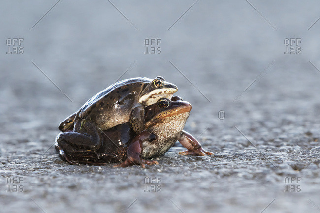 A pair of mating Wood frogs near a pond in Anchorage, South-central Alaska, Spring.
