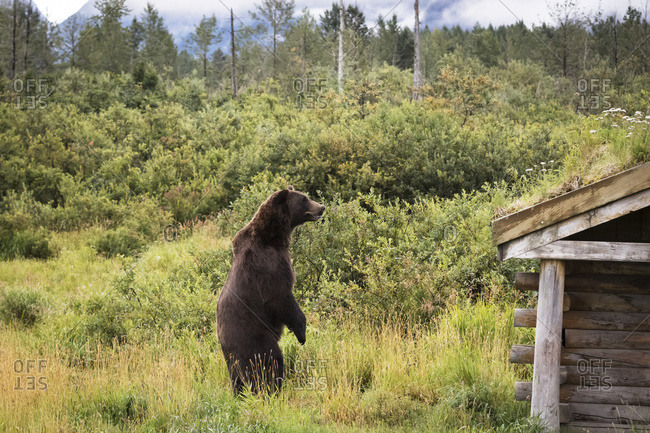 Male brown bear (ursus arctos) looks for other bears in the enclosure, captive at the Alaska Wildlife Conservation Centre; Portage, Alaska, United States of America
