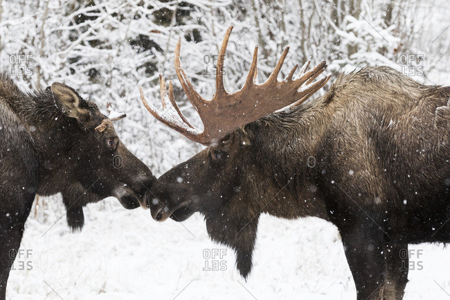 Bull moose (alces alces) touching noses in a snowfall; Anchorage, Alaska, United States of America