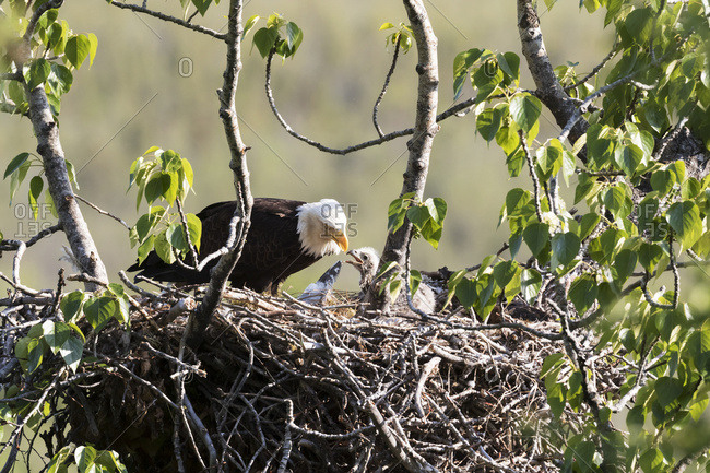 Bald eagle (Haliaeetus leucocephalus) feeds chick in its nest at Potter Marsh; Anchorage, Alaska, United States of America
