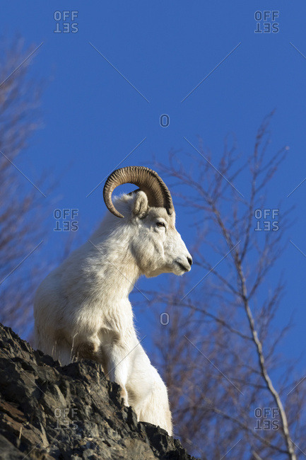 Dall sheep ram (ovis dalli) looking out over a rocky ridge on the Chugach Mountains near the Seward highway; Alaska, United States of America