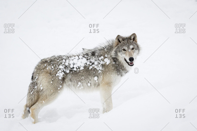 Female tundra wolf (Canis lupus albus) playing and walking in the snow, captive at the Alaska Wildlife Conservation Centre; Portage, Alaska, United States of America