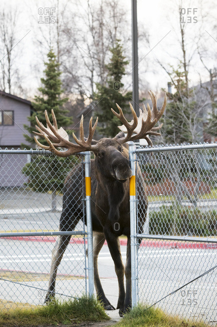 A large bull moose (alces alces) squeezes through a fence opening at the Lake Hood Elementary School yard while following another bull; Anchorage, Alaska, United States of America