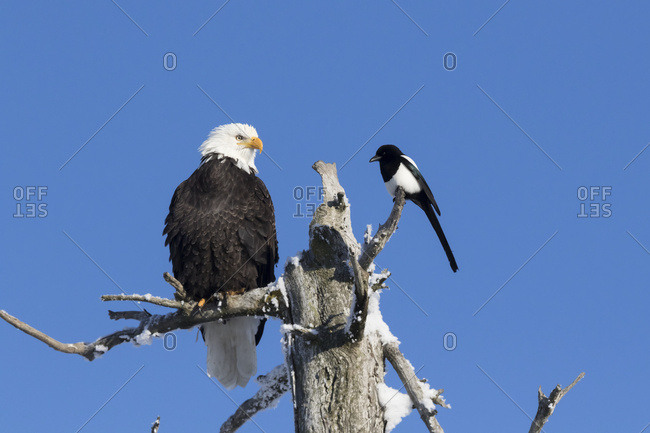 Adult bald eagle (Haliaeetus leucocephalus) shares the treetop of a dead tree with a Black-billed magpie (Pica hudsonia), tree killed by earthquake and saltwater; Alaska, United States of America