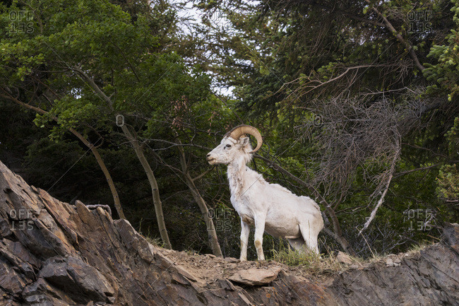 A lone young dall sheep ram (ovis dalli) watches other sheep in the area, Chugach mountains, South-central Alaska; Alaska, United States of America