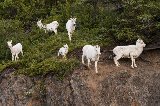 A group of Dall sheep (ovis dalli) ewes and lambs watch a photographer, Chugach mountains, south-central Alaska; Alaska, United States of America