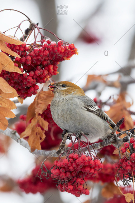 Female Pine Grosbeak (Pinicola enucleator) feeds on Mountain Ash berries in winter; Anchorage, Alaska, United States of America