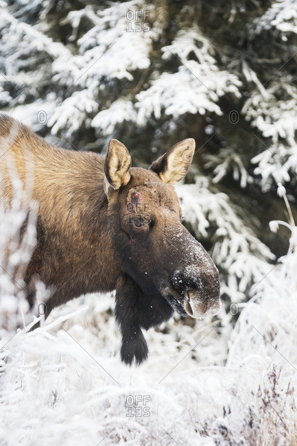 A large bull moose (alces alces) after loosing his antlers, foraging in snow covered trees; Anchorage, Alaska, United States of America
