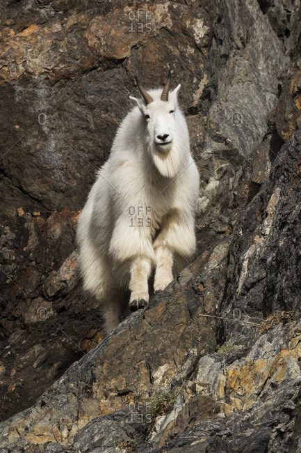Mountain goat (Oreamnos americanus) standing on a rocky slope near Seward Highway; Alaska, United States of America