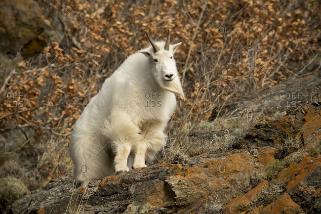 Mountain goat (Oreamnos americanus) standing on a rock near Seward Highway, near Anchorage; Alaska, United States of America