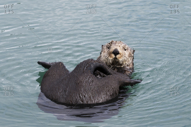 A lone otter (Enhydra lutris) swims in Resurrection Bay, cleaning it's fur; Alaska, United States of America