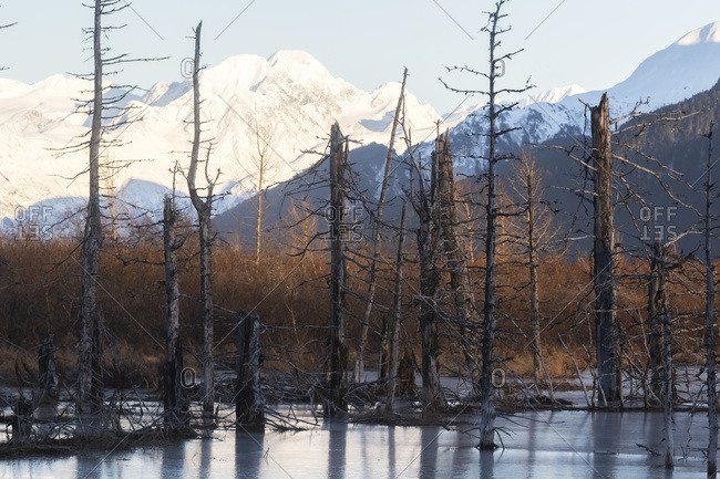 Snow covered mountains in South-central Alaska, near Turnagain Pass area, dead trees killed by an earthquake shown in foreground; Alaska, United States of America