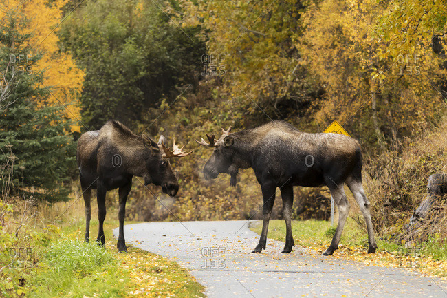 Young bull moose (alces alces) play-fighting on the Coastal Trail in Kincaid Park, rutting season in autumn; Anchorage, Alaska, United States of America