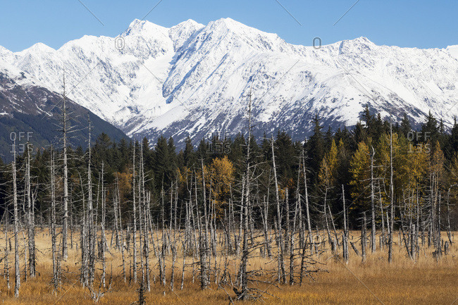 Snow covered mountains and earthquake /saltwater killed trees, Seward Highway; Girdwood, Alaska, United States of America