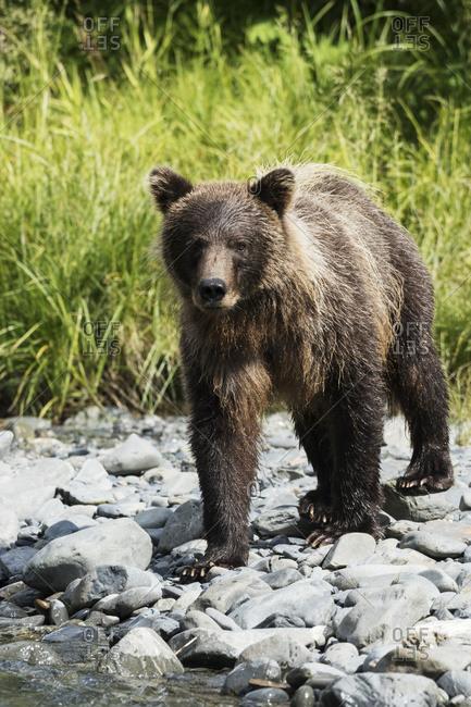 Young Brown bear (ursus arctos) at Bird Creek, south of Anchorage, Seward Highway, South-central Alaska; Alaska, United States of America