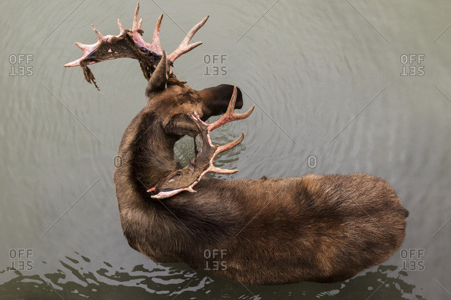 Bull moose (alces alces), captive, Alaska Wildlife Conservation Centre;  Portage, Alaska, United States of America