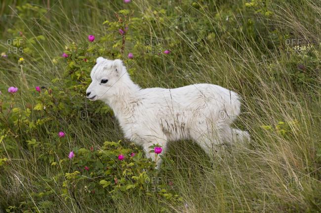 A Dall sheep lamb (ovis dalli) runs around the hillsides under its mom's watchful eyes, Chugach mountains; Alaska, United States of America