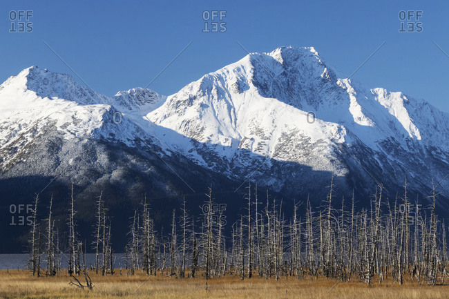 Snow covered mountains and earthquake /saltwater (1964) killed trees shown in photo, about Mile 90 Seward Highway; Girdwood, Alaska, United States of America