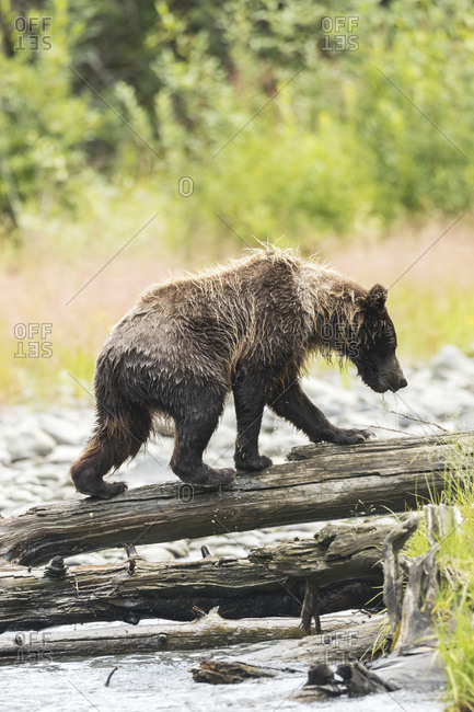 Immature brown bear (ursus arctos) fishing for salmon in Bird Creek; Alaska, United States of America