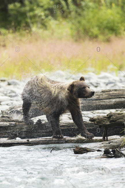 Immature brown bear (ursus arctos) fishing for salmon in Bird Creek and shaking off water; Alaska, United States of America