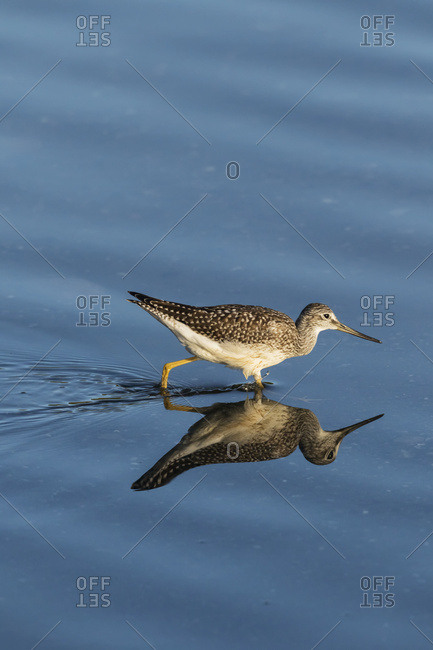 Lesser Yellowlegs (Tringa flavipes) looks for insects in a small lake; Anchorage, Alaska, United States of America
