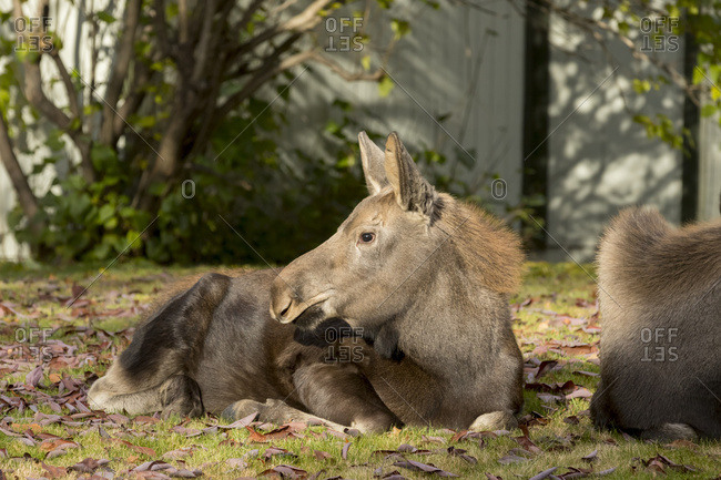 A moose (alces alces) calf in West Anchorage rests in a yard while its mother feeds nearby in autumn; Anchorage, Alaska, United States of America