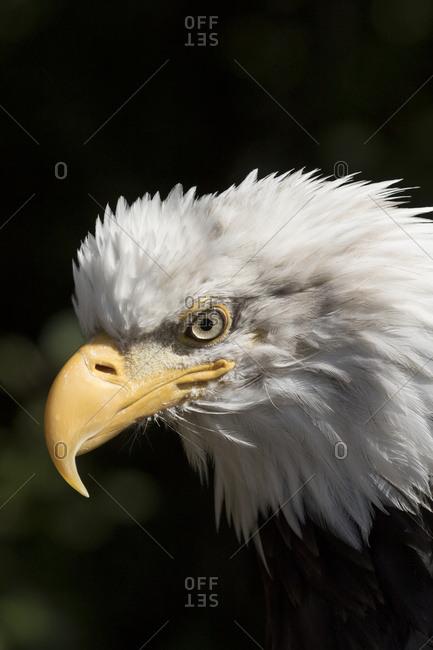 Mature bald eagle (Haliaeetus leucocephalus); Alaska, United States of America