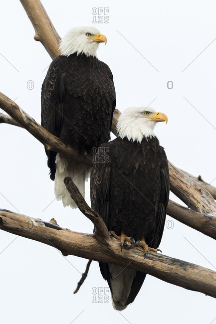 A pair of mated adult bald eagles (Haliaeetus leucocephalus) perch in a tree and shortly thereafter mated; Alaska, United States of America