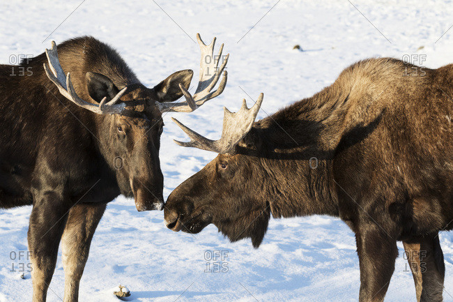 Moose (alces alces)touch noses in a greeting to one another, South-central Alaska; Alaska, United States of America