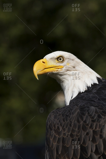 Mature bald eagle (Haliaeetus leucocephalus), captive; Alaska, United States of America