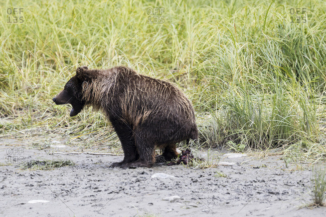 Immature brown bear (Ursus arctos) at Bird Creek, south of Anchorage at about Mile 100 Seward Highway, bear is caught going to bathroom and its droppings show berries in it, South-central Alaska; Alaska, United States of America