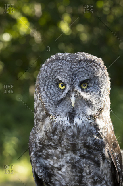 Portrait of a Great Gray Owl, South-central Alaska