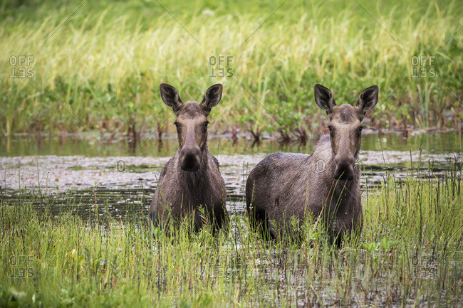Two moose standing in water in Portage Valley, South-central Alaska, summer