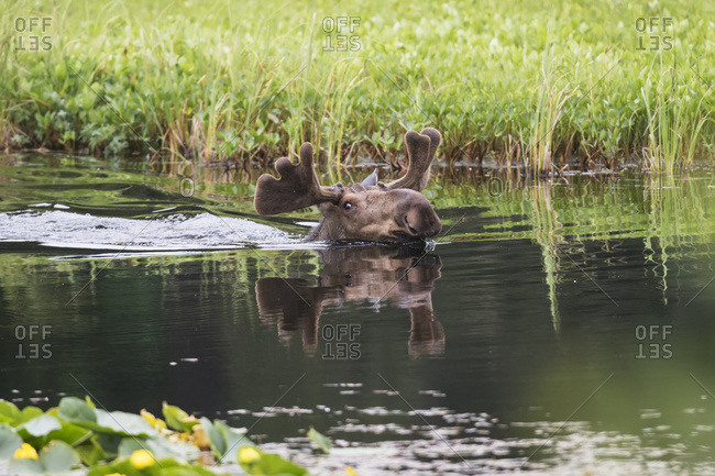 Bull moose with small antlers in velvet swims in a pond in Portage Valley, South-central Alaska, summer